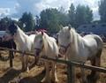 Havelberger Pferdemarkt
