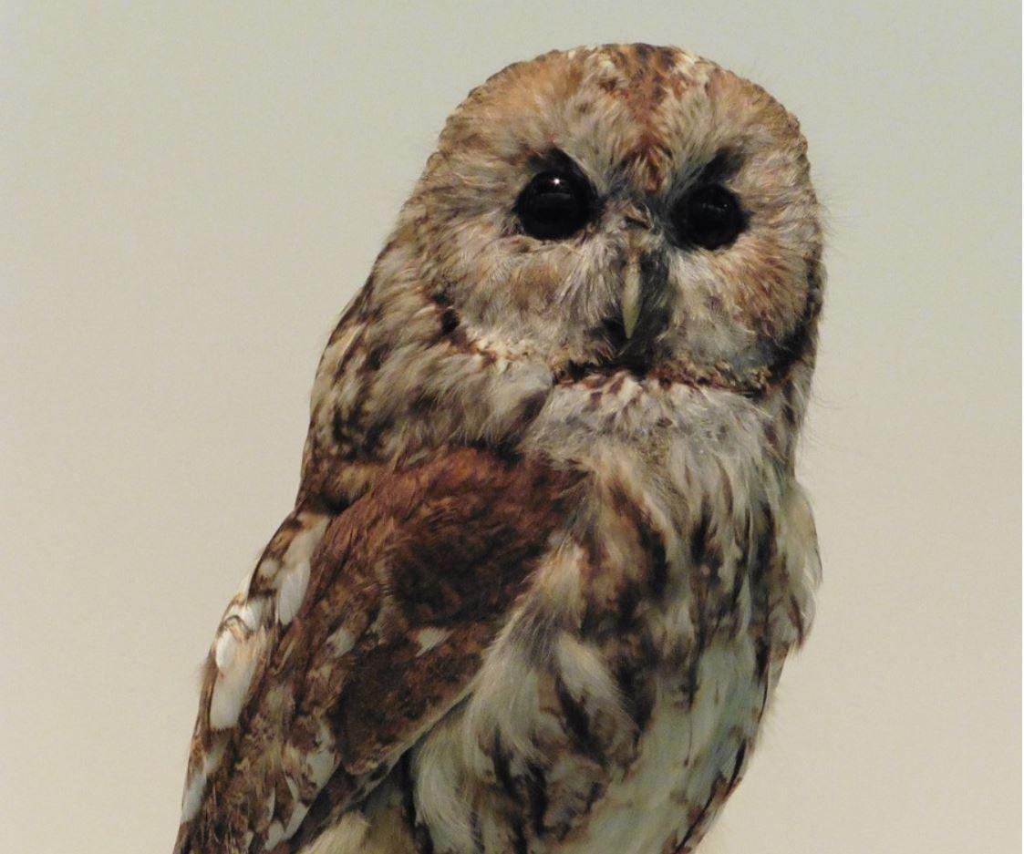 Logo für Veranstaltung Sonderausstellung: Waldkauz - Vogel des Jahres 2017