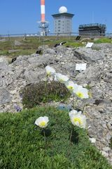 Pflanzen vor der Brockenkuppe