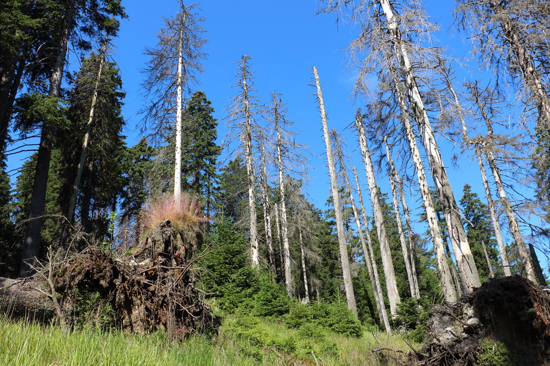 Waldforschungsflaeche-Brockenosthang-3-Reitgras-Fichtenwald_Springemann