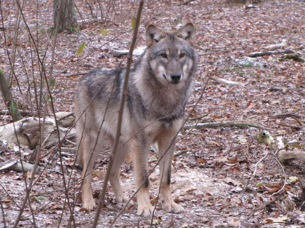 Wolf_Foto1WalterWimmer