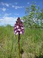 P1010041 Orchis purpurea
